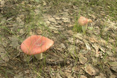 gołąbek ładny (Russula exalbicans ) Atlas NaGrzyby.pl