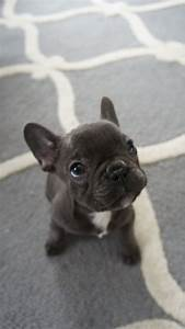 Someone get me a blue french bulldog please! Blue Frenchie ...