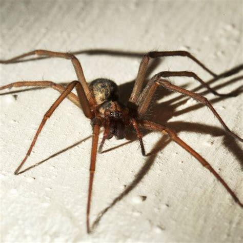 spinnen in der wohnung bekämpfen spinnen vertreiben hausmittel spinnen vertreiben bek mpfen hausmittel gegen spinnen in haus
