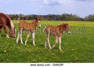 Süddeutsches Coldblood (Equus Przewalskii F. Caballus ...