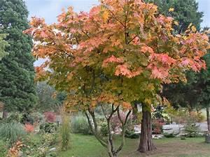 Japanischer Ahorn Im Kübel : japanischer ahorn 39 vitifolium 39 acer japonicum ~ Michelbontemps.com Haus und Dekorationen