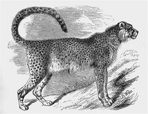 cheetahs    returning  india