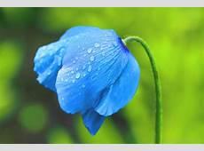 National Flower Of Bhutan Blue Poppy 123Countriescom