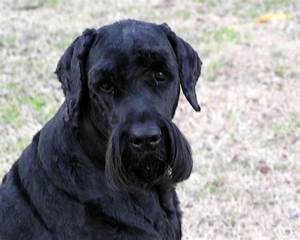Black Russian Terrier Breed and Photos and Videos ~ Lucky Dogs