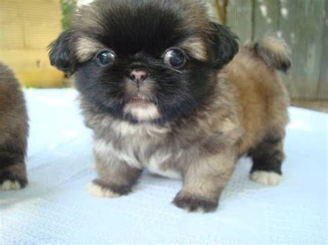 pekingese chihuahua mix shedding pekingese puppy mix breeds picture
