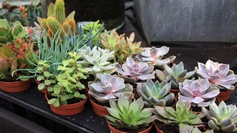 popular succulent plants 8 most common types of succulents plants for home the self sufficient living