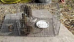 Piege à Rat Efficace : piege rats youtube ~ Dailycaller-alerts.com Idées de Décoration