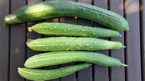 Salatgurken Anbauen Im Eigenen Garten by Salatgurken Anbauen Im Freiland Und Gew 228 Chshaus