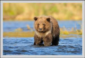newborn photography utah photo of grizzly cub showing collar markings