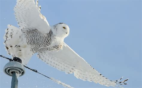 Desktop Background Snowy Owl Wallpaper by Snowy Owl Wallpaper 73 Images