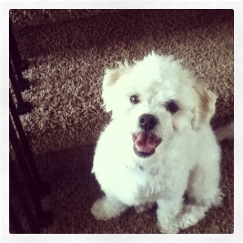Lhasa Apso Poodle Mix Shedding by 524 Best Images About Lhasa Apso S On