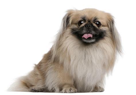pekingese dogslife dog breeds magazine