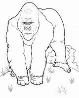 Gorilla Coloring Realistic Pages Animals Topcoloringpages Printable Animal Jungle Quality Whitesbelfast sketch template