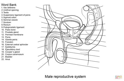 male reproductive system worksheet coloring page free