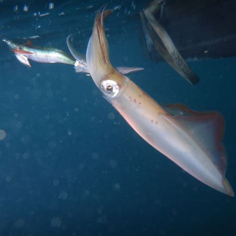 comment cuisiner les calamars comment pecher des calamars