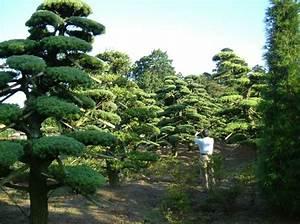 Niwaki - Japanese White Pines