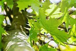 Wucherungen An Pflanzen : gallmilben eriophyidae mittel zur bek mpfung ~ Buech-reservation.com Haus und Dekorationen