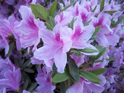 azaleas jardin pinterest sweet