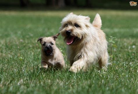 cairn terrier dog breed information buying advice photos