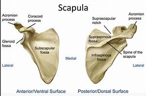 30 Scapula Diagram Labeled