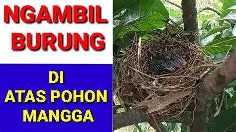ngambil burung di atas pohon mangga