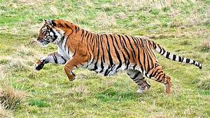 Bengal Tiger Running | www.pixshark.com - Images Galleries ...