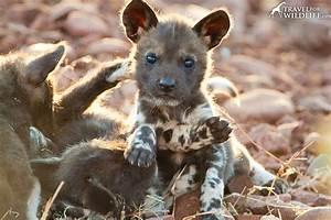 Photo: African Wild Dog Puppy – Travel For Wildlife
