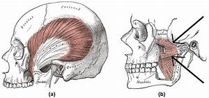 9 7b  Chewing Muscles