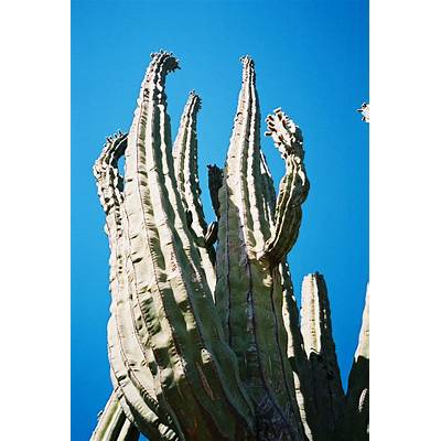 Pachycereus pringlei - Wikipedia