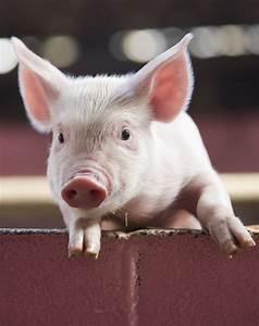 Adopt A Pig In The Uk  U2022 Pig Adoption Gift Packs