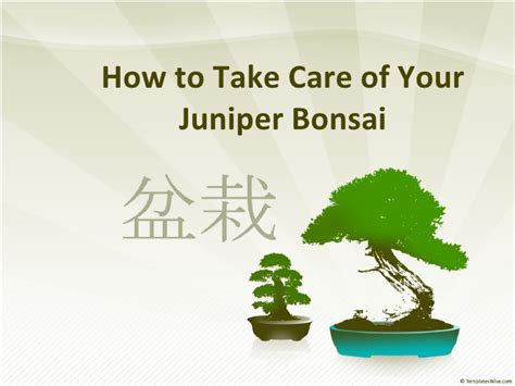How To Take Care Of Your Juniper Bonsai