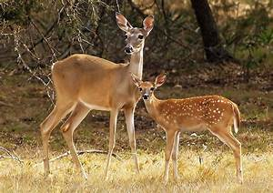 """Mama and Baby Deer"" by kellimays Redbubble"