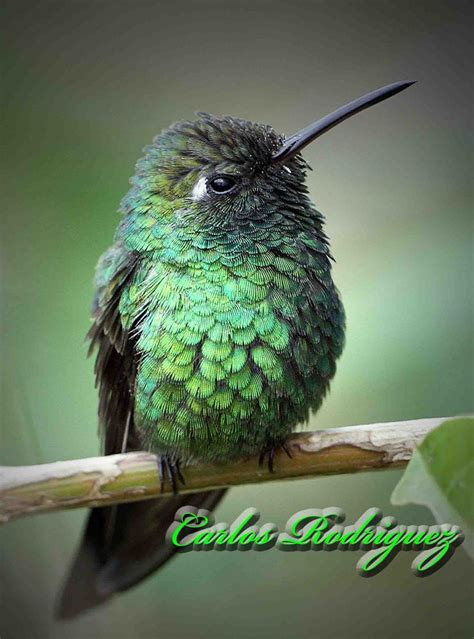 what is the only bird that can fly backwards cuban emerald hummingbird hummingbirds are the only birds in the world that can fly backwards