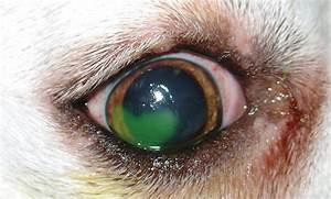 Refractory Corneal Ulcer Management In Dogs