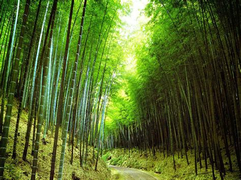 pictures of bamboo trees wallpapers bamboo forest wallpapers