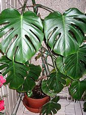 philodendron wikipedia