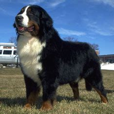 dog breeds types  dogs american kennel club