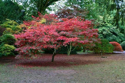 japanese trees with pink flowers photo autumn colours pink japanese maple img 0324