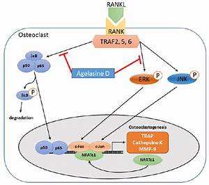 Schematic Diagram Of Signaling Pathways Important For