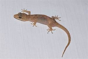 Common house gecko - Wikipedia
