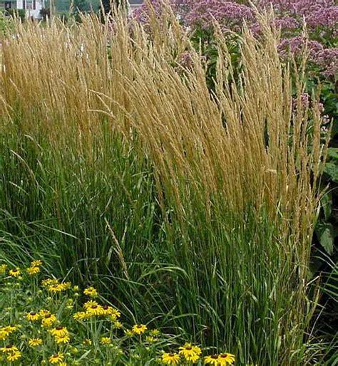 """Calamagrostis Acut """"karl Foerster"""" (strictus"""