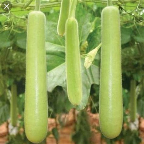 Lauka ( Bottle Gourd) Per kg - Buy Online at Thulo.Com at ...