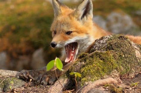 wallpaper fox open mouth moss wallpapermaiden