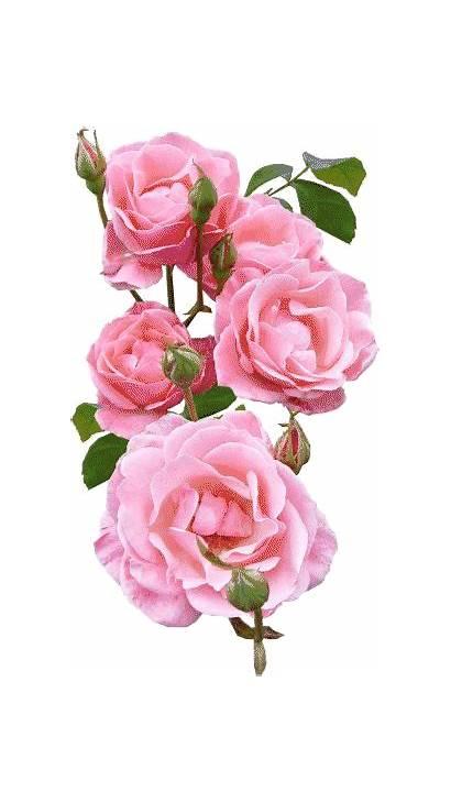 Flowers Gifs Amazing Rose Flower Roses Gifparadise