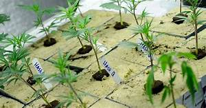 US Government Accused of Stifling Medical Marijuana ...