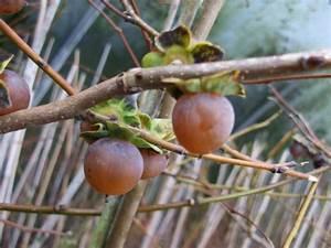 Mittel Gegen Kräuselkrankheit : produkt nicht gew nscht gartenstauden und baumschulpflanzen ~ Lizthompson.info Haus und Dekorationen