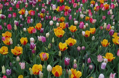 tulip season in usa chicago botanic garden tulip season the unfinished travel project