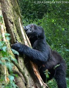 31 best The Grauer's Gorilla images on Pinterest ...