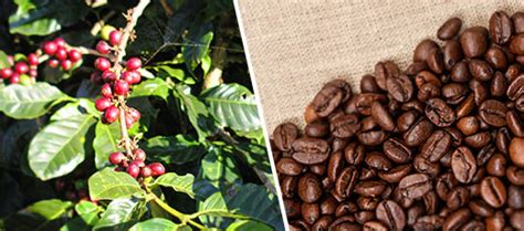 A Brief History Of The Coffee Bean Coffee Bags Edmonton Organic Vs Germany Silky Oak Table Gumtree Brisbane To Tonnes Lyons Asda Grounds Under Eyes Jay
