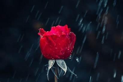 Rose Raindrops Wallpapers Water 5k Flowers Dark